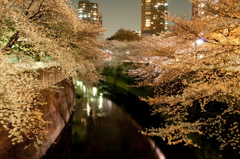 面影橋の夜桜