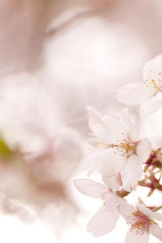 桜の iPhone 4 対応壁紙