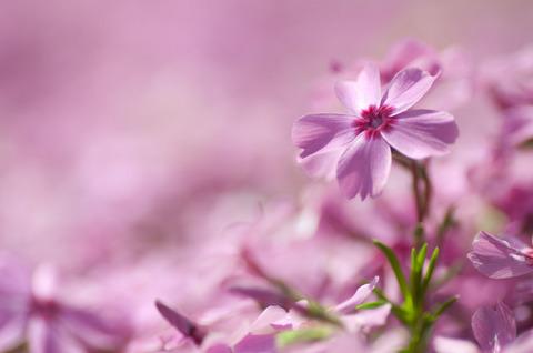 昭和記念公園 芝桜