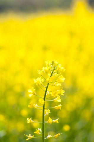 昭和記念公園の菜の花