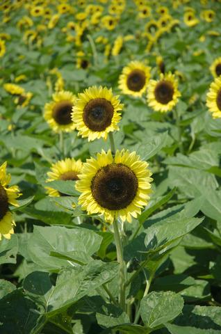 昭和記念公園のヒマワリ畑