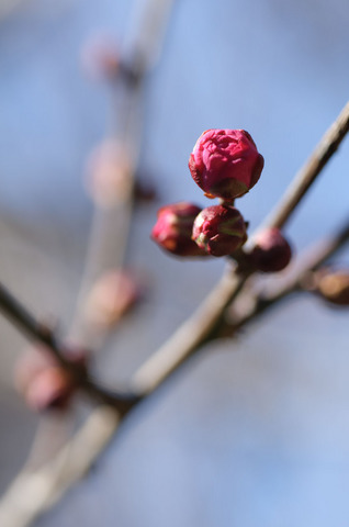 小石川植物園の梅