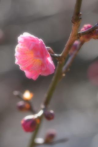 梅の iPhone 用壁紙画像
