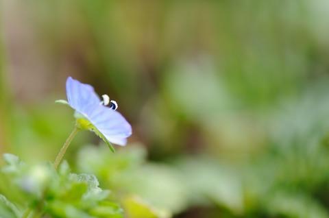 小石川植物園 オオイヌノフグリ
