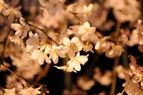 六義園のしだれ桜ライトアップ