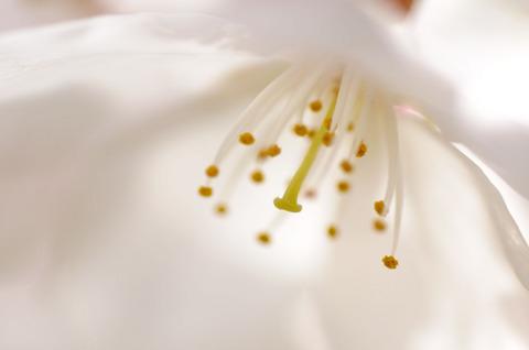 小石川植物園の桜