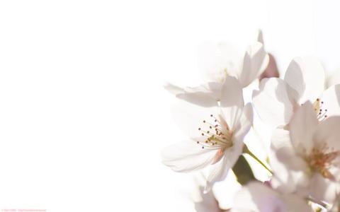 桜のパソコン用壁紙(1920x1200ピクセル WUXGA)