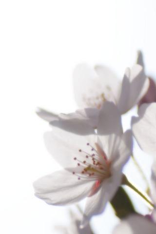 桜の iPhone 用壁紙画像