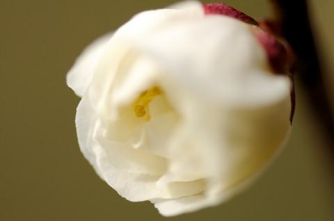小石川植物園 梅