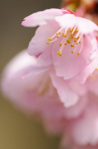 小石川植物園 寒桜